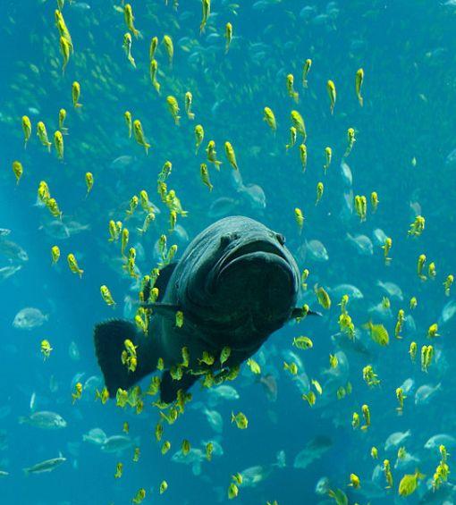 541px-georgia_aquarium_-_giant_grouper_edit.jpg